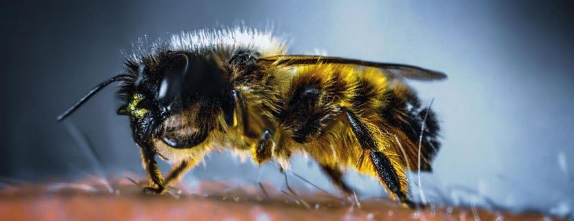 makrokuva ampiainen